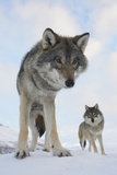 Wide Angle Close-Up Of Two European Grey Wolves (Canis Lupus), Captive, Norway, February Fotografie-Druck von Edwin Giesbers