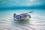 Southern Stingray (Dasyatis Americana) Female Swimming Over A Shallow Sand Bank Photographic Print by Alex Mustard