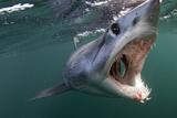 Mako Shark (Isurus Oxyrinchus) Cape Point, South Africa Fotografie-Druck von Chris & Monique Fallows