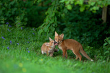 Red Fox (Vulpes Vulpes) Two Cubs Playfighting On The Fringes Of A Field, Derbyshire, UK Photographic Print by Andrew Parkinson