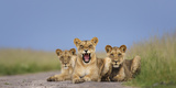 African Lion (Panthera Leo) Three Subadults Resting On The Road Photographic Print by Tony Heald