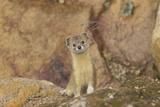 Mountain Weasel (Mustela Altaica) Lhasa City, Qinghai-Tibet Plateau, Tibet, China, Asia Lámina fotográfica por Dong Lei