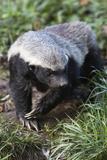 Honey Badger Or Ratel, Mellivora Capensis, Captive, Native To Africa Fotografisk tryk af Ann & Steve Toon