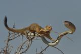 Slender Mongoose (Galerella Sanguinea) Approaching Boomslang Snake (Dispholidus Typus) In Tree Lámina fotográfica por Lou Coetzer
