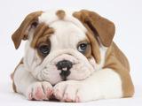 Bulldog Puppy With Chin On Paws, Against White Background Fotografie-Druck von Mark Taylor