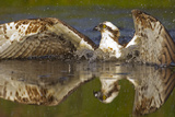 Osprey (Pandion Haliaetus) At Surface Of A Loch After Diving For A Fish Reproduction photographique par Peter Cairns