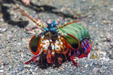 Peacock Mantis Shrimp (Odontodactylus Scyllarus) Lembeh Strait, Sulawesi, Indonesia Reproduction photographique par Georgette Douwma