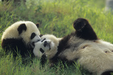Giant Panda (Ailuropoda Melanoleuca) Mother And Young Playing, Captive, Sichuan, China. Non-Ex Fotoprint av Cyril Ruoso