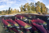 A Split Level Photo Of Group Of Sockeye Salmon (Oncorhynchus Nerka) Fighting Their Way Upstream Photographic Print by Alex Mustard