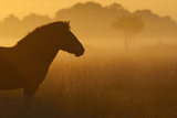 Exmoor Pony At Sunrise Reproduction photographique par  Widstrand