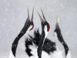 Red-Crowned Cranes (Grus Japonensis) Displaying And Calling In Snow, Hokkaido, Japan, February Fotografie-Druck von Markus Varesvuo