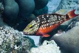 Stoplight Parrotfish (Sparisoma Viride) Initial Phase. Bonaire, Netherlands Antilles, Caribbean Reproduction photographique par Georgette Douwma
