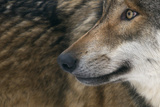 Grey Wolf (Canis Lupus) Close Up, Captive Fotografie-Druck von Edwin Giesbers