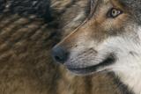 Grey Wolf (Canis Lupus) Close Up, Captive Lámina fotográfica por Edwin Giesbers