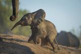 Baby African Elephant (Loxodonta Africana), Climbing Up A Riverbank, Chobe National Park, Botswana Fotografie-Druck von Wim van den Heever