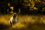 Fallow Deer (Dama Dama) Buck Bellowing At Dawn During The Rut, Cheshire, UK, October Photographic Print by Ben Hall