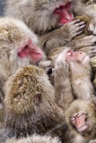 Japanese Macaque (Macaca Fuscata) Mothers Grooming Their Babies In The Hot Springs Of Jigokudani Fotografisk trykk av Diane McAllister