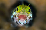 Secretary Blenny (Acanthemblemari Maria) Yawns As It Peers Out From A Hole In The Reef Photographic Print by Alex Mustard