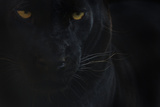 Close Up Head Portrait Of Melanistic - Black Leopard (Panthera Pardus) Captive Fotografisk tryk af Edwin Giesbers
