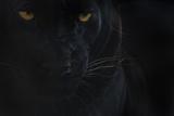 Close Up Head Portrait Of Melanistic - Black Leopard (Panthera Pardus) Captive Fotografie-Druck von Edwin Giesbers