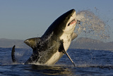 Great White Shark (Carcharodon Carcharias) Breaching Whilst Attacking Seal Decoy Fotografisk tryk af Chris & Monique Fallows