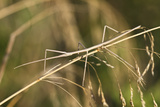 European Stick Insect On Grass (Bacillus Rossius) Mediterranean, Italy, Europe Reproduction photographique par Konrad Wothe
