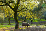 Iberian Black Pig Foraging In Oak Woodland, Sierra De Aracena Natural Park, Huelva Fotografisk tryk af Juan Carlos Munoz