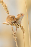 Harvest Mice (Micromys Minutus) On Wheat Stems, Devon, UK 写真プリント : ロス・ホディノット