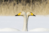 Whooper Swan (Cygnus Cygnus) Male And Female Facing In Opposite Directions, Central Finland, April Impressão fotográfica por Jussi Murtosaari