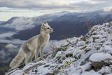 Arctic Fox (Alopex - Vulpes Lagopus) Standing On Ridge Fotografie-Druck von Andy Trowbridge