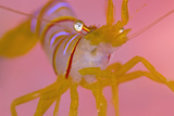 A Portrait Of A Small Candy Stripe Shrimp (Lebbeus Grandimanus) Fotografie-Druck von Alex Mustard