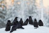 Common Raven (Corvus Corax) Group On Snow In Forest Clearing, Utajärvi, Finland Fotografie-Druck von Markus Varesvuo