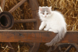 British Longhair, Kitten With Blue-Van Colouration Age 10 Weeks In Barn With Straw Impressão fotográfica por Petra Wegner