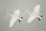 Whooper Swans (Cygnus Cygnus) Two In Flight, During Snowfall, Lake Kussharo, Japan, February Impressão fotográfica por Danny Green