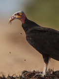 Turkey Vulture (Cathartes Aura) Feeding On Roadkill With Flies In The Air, Pantanal, Brazil Photographic Print by Tony Heald
