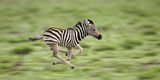 Common Zebra Foal Running (Equus Quagga) Etosha Np, Namibia, Digitally Enhanced Photographic Print by Tony Heald