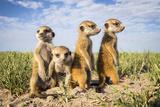 Meerkat (Suricata Suricatta) Group Of Babies, Makgadikgadi Pans, Botswana Lámina fotográfica por Will Burrard-Lucas