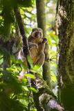 Golden Bamboo Lemur (Hapalemur Aureus) Male Eating Bamboo-Shoot Reproduction photographique par Konrad Wothe