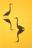 Two Great Egrets (Ardea Alba) Wading, Silhouetted At Dawn, Keoladeo National Park Fotografisk tryk af Juan Carlos Munoz