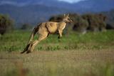 Forester Kangaroo (Macropus Giganteus Tasmaniensis) Jumping, Tasmania, Australia Reproduction photographique par Dave Watts