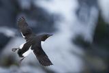 Brunnnich'S Guillemot (Uria Aalge) In Flight, Vardo, Norway, March Fotografie-Druck von Markus Varesvuo