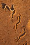Peringuey'S Adder - Sidewinding Adder (Bitis Peringueyi), 'Sidewinding', Namib Desert, Namibia, May Fotografie-Druck von Ann & Steve Toon