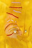 Candy Stripe Shrimp (Lebbeus Grandimanus) On A Yellow Sponge Fotografisk tryk af Alex Mustard