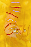 Candy Stripe Shrimp (Lebbeus Grandimanus) On A Yellow Sponge Fotografie-Druck von Alex Mustard
