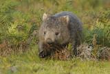 Common Wombat (Vombatus Ursinus). Tasmania, Australia, February Reproduction photographique par Dave Watts