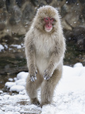 Japanese Macaque (Macaca Fuscata) Female Standing On Hind Legs In Snow, Jigokudani, Japan. February Fotografisk trykk av Diane McAllister