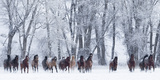 Rf- Quarter Horses Running In Snow At Ranch, Shell, Wyoming, USA, February Toile tendue sur châssis par Carol Walker