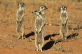 Meerkats (Suricata Suricatta) Standing Alert, Kgalagadi Transfrontier Park, Northern Cape Fotografisk tryk af Ann & Steve Toon