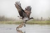 Osprey (Pandion Haliaetus) Catching Trout, Rothiemurchus Estate, Cairngorms, Scotland, UK, July Fotografie-Druck von Ann & Steve Toon