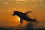 Great White Shark (Carchardon Carcharias) Breaching On Seal Decoy At Dawn, False Bay, South Africa Fotografisk tryk af Chris & Monique Fallows